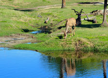 Brown antelope, grazing near a pond Stock Images