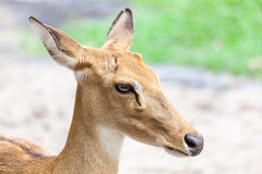 Brown antelope head Royalty Free Stock Photography