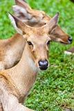 Brown antelope head Stock Photos
