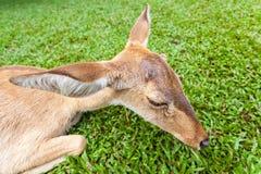 Brown antelope head Royalty Free Stock Image