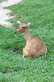 Brown antelope resting on grass Stock Photos