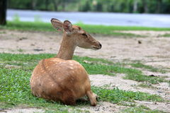 Brown antelope resting on grass Stock Images