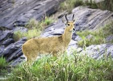 Brown Antelope Standing on Green Grass stock images