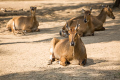 Brown antelopes herd resting . Royalty Free Stock Image