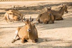 Brown antelopes herd resting . Stock Photos