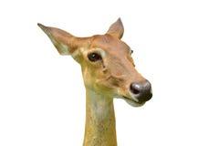 Brown antlered deer Royalty Free Stock Photo