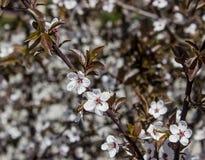 Brown Apple de florescência, árvore de florescência Imagens de Stock Royalty Free