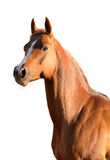 Brown Arabian horse isolated. Portrait brown Arabian horse isolated on the white background Stock Image