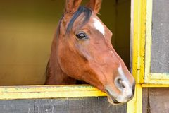 Brown Arabian horse looking out of his box Stock Photo