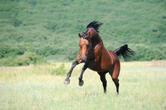 Brown Arabian Horse Playing On Pasture Royalty Free Stock Photos