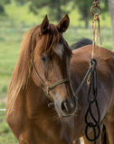 Brown arabian horse Stock Images