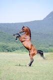 Brown arabian horse rearing on pasture. Beautiful brown arabian horse rearing on pasture Royalty Free Stock Images