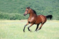 Brown arabian horse running gallop on pasture. Beautiful brown arabian horse running gallop on pasture Royalty Free Stock Photo