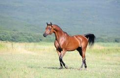 Brown Arabian Horse Running Trot On Pasture Stock Photo