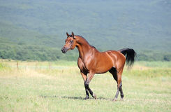 Brown arabian horse running trot on pasture Stock Photo