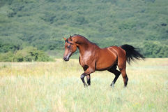 Brown arabian horse running trot on pasture Royalty Free Stock Photo