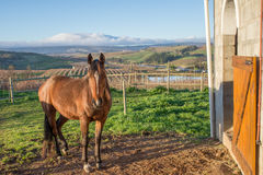 Brown Arabian Horse by Stables on Farm Royalty Free Stock Photography