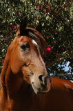 Brown Arabian mare. Portrait of brown Arabian mare with flowering bush in background stock photography