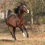 Brown arabian stallion running in paddock Royalty Free Stock Photo