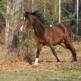 Brown arabian stallion running in paddock Royalty Free Stock Image