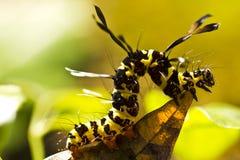 Brown arctia caja Larve auf Blatt in der Natur Stockfotografie