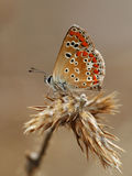Brown Argus Fotografia Stock