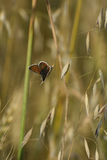 Brown Argus (agestis di Aricia) Fotografie Stock Libere da Diritti