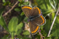 Brown Argus (Aricia agestis) Obrazy Royalty Free