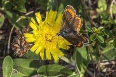 Brown Argus (Aricia agestis) Obrazy Stock