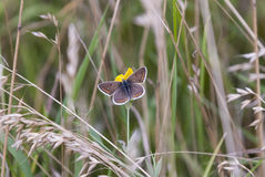 Brown Argus Butterfly Stock Images
