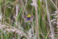 Brown Argus Butterfly. Aricia agestis, feeding from a buttercup at Cricklade in Wiltshire, England Stock Photography