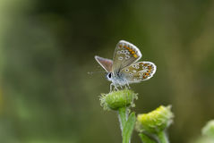 Brown argus butterfly, Aricia agestis. On flower-head Royalty Free Stock Photos