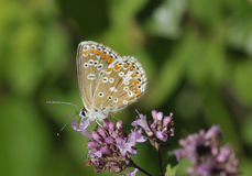 Brown Argus Butterfly Royalty Free Stock Image