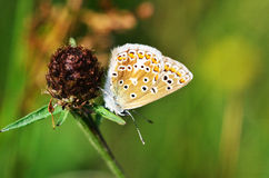 Brown Argus Butterfly Stock Photography