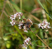 Brown Argus Butterfly. Nectaring on flower Royalty Free Stock Images