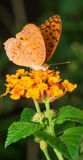 Brown Argus on Lantana Camara Royalty Free Stock Photography
