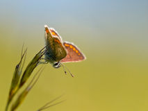 Brown Argus motyl Obrazy Stock