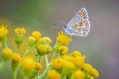Brown Argus motyl, Aricia agestis, zapyla na kolorze żółtym fl Fotografia Royalty Free