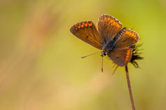 Brown Argus motyl na kwiacie z zielenią Z powrotem (Aricia agestis) Zdjęcia Stock