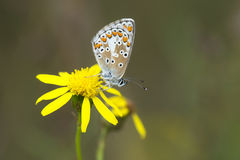 Brown Argus Royalty Free Stock Image