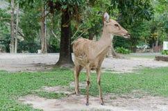 Brown asia thamin in safari Stock Photo