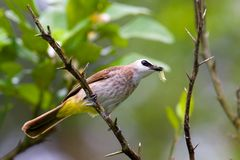Brown Asian Flycatcher Stock Image