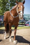 brown asian horse with bridle and without saddle royalty free stock images