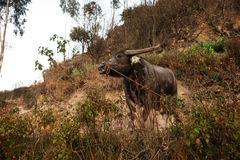 Brown asian ox with leash rope standing on sand hill with some vegetation. Royalty Free Stock Images