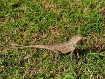 A brown Asian reptile Stock Image