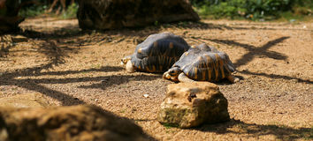 Brown asian turtles feeding in the zoo Royalty Free Stock Photography