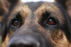 Brown attentive eyes of a dog Royalty Free Stock Image