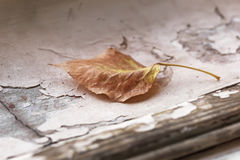 Brown autumn leaf Royalty Free Stock Image