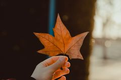 Fallen Leaf royalty free stock image