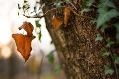 Brown autumn leaf. Hanging from the tree. Autumnal colors. Fall in forest royalty free stock images